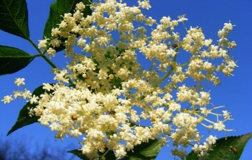 Elderflower benefits