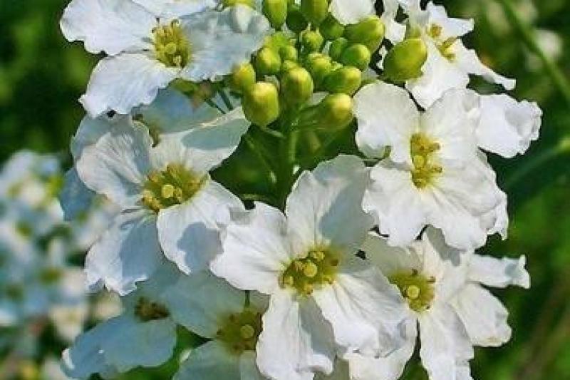 Horseradish benefits