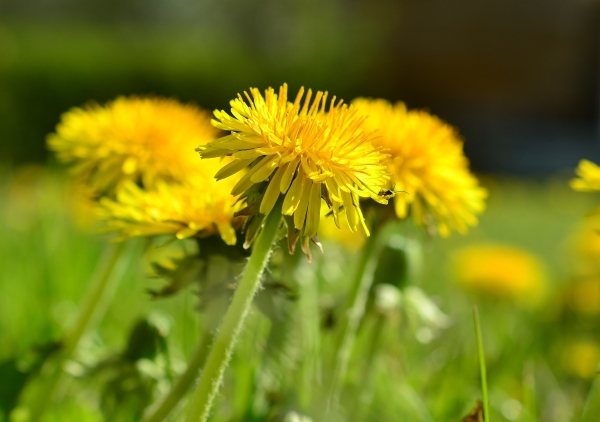 dandelion,health,benefits,flower