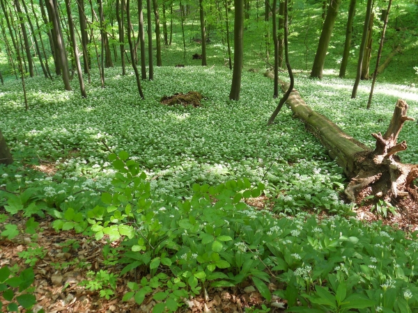 ramsons,health,benefits